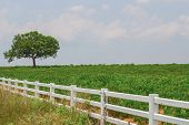 image of cassava  - Tree And Cassava Field On Blue Sky Background - JPG