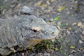 image of giant lizard  - A close up shot of a Komodo Lizard - JPG