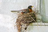 stock photo of bird-nest  - A mother red-breasted Robin (Turdus migratorius) and baby bird in nest.