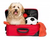 foto of toy dogs  - Happy reddish Bichon Havanese dog is sitting in a red traveling suitcase with his soccer ball and toys and waiting for departure  - JPG