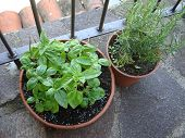 stock photo of plant pot  - Basil and Rosemary herb plant in a earthenware pot on the balcony with fertilizer - JPG