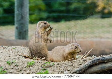 Black Tailed Prairie Dogs