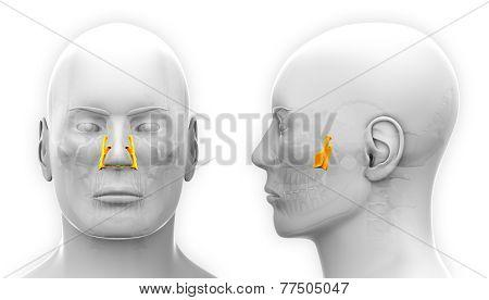 Male Palatine Skull Anatomy - Isolated On White