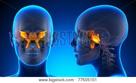 Female Sphenoid Skull Anatomy - Blue Concept