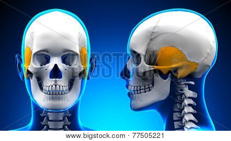 Female Temporal Bone Skull Anatomy - Blue Concept