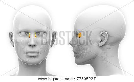 Female Lacrimal Skull Anatomy - Isolated On White