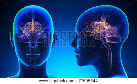 Female Limbic System Brain Anatomy - Blue Concept
