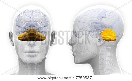 Female Cerebellum Brain Anatomy - Isolated On White