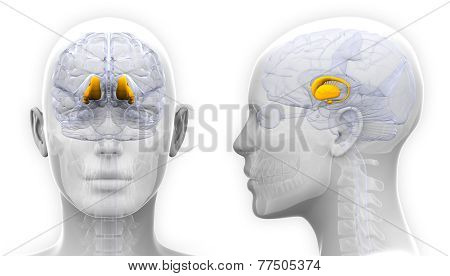 Female Thalamus Brain Anatomy - Isolated On White