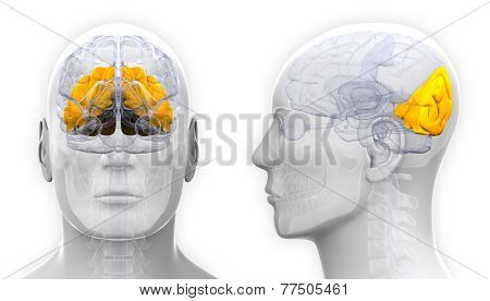 Male Occipital Lobe Brain Anatomy - Isolated On White