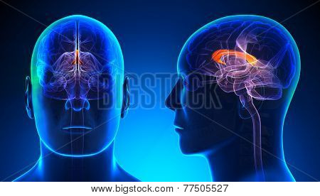 Male Corpus Callosum Brain Anatomy - Blue Concept