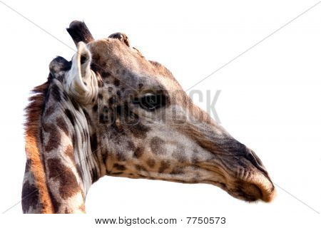 Giraffe's Head On White