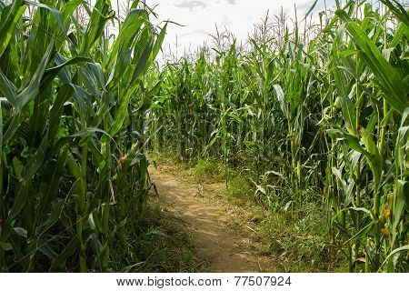 Trail Corn Field