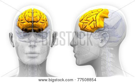 Female Frontal Lobe Brain Anatomy - Isolated On White