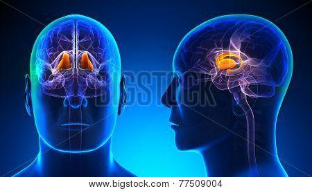 Male Thalamus Brain Anatomy - Blue Concept