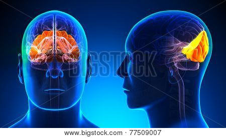 Male Occipital Lobe Brain Anatomy - Blue Concept