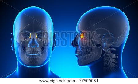 Male Lacrimal Skull Anatomy - Blue Concept