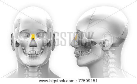 Male Nasal Bone Skull Anatomy - Isolated On White