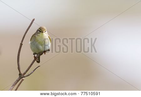 A Willow Warbler perched on a branch