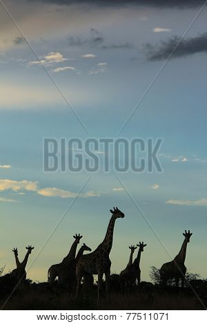 Giraffe - African Wildlife - Silhouette of Togetherness