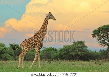 Giraffe - African Wildlife Background - The Rain is Coming
