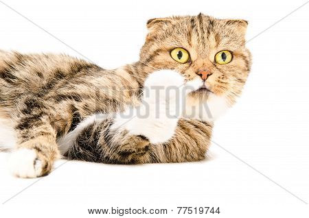 Curious Scottish Fold cat