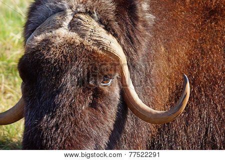 Female Musk Ox Portrait