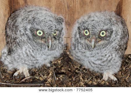 Eastern Screech-owl Chicks