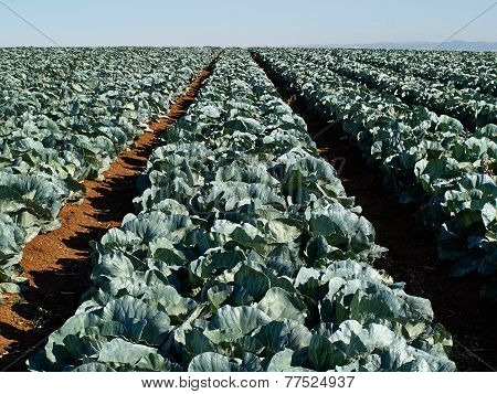 Farming Landscape View Of A Freshly Growing Cabbage Field