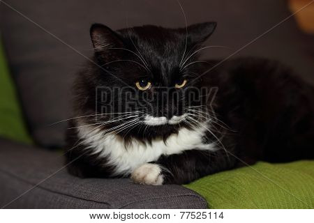 Tuxedo Cat with long whiskers