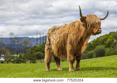 King of the Meadow - Incredible Scottish Cattle