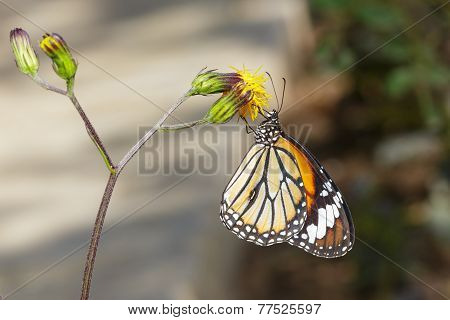 Common Tiger Butterfly On Flower