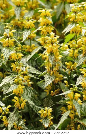 Yellow Flowers On Variegated Yellow Archangel