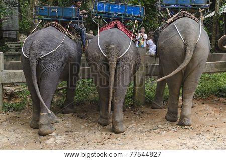 Elephants in the Khao Lak Park, Thailand. Back view