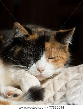 Beautiful calico cat sleeping in a sunny spot