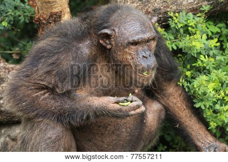 Big old brown chimpanzee