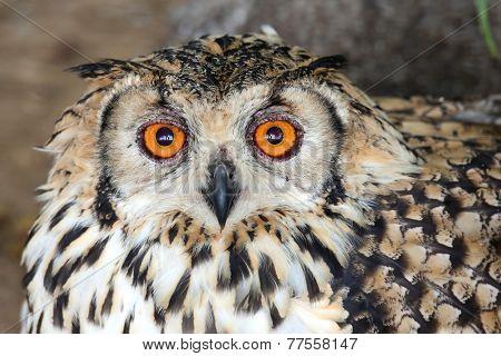 Cape Eagle Owl Bird