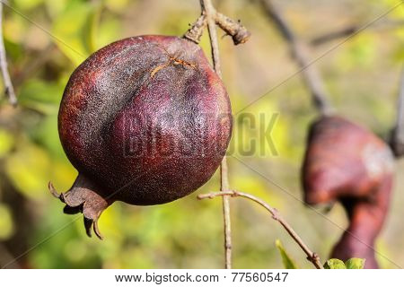 Single pomegranate on the tree