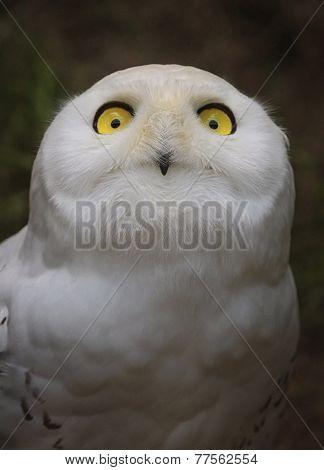 Snowy owl, bubo scandiacus, portrait