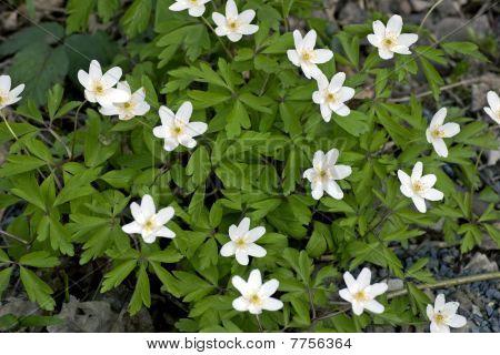 wood-anemone