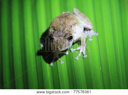 Brown frog sitting on leaf. Night. Manuel Antonio, Costa Rica