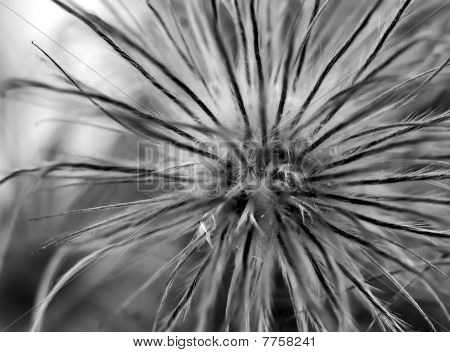 Faded Pasqueflower Bw