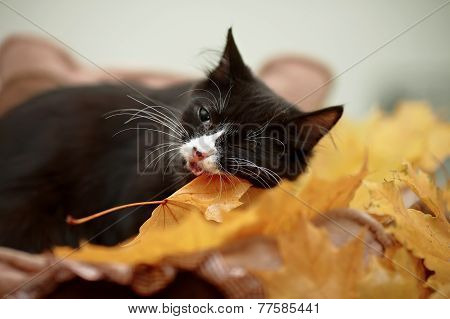 Black Cat With Autumn Leaves.