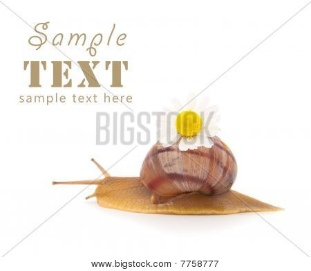 Creeping Snail With A Camomile Flower Isolated On A White Background