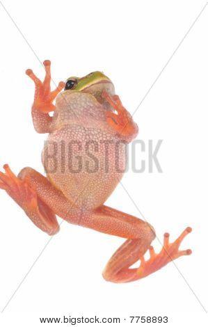 Closeup Green Tree Frog