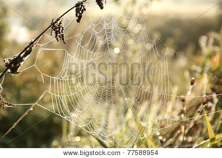 Cobweb at dawn