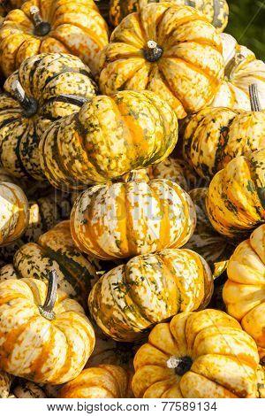 Sweet Lightning Microwave Cucurbita Pumpkin Pumpkins From Autumn