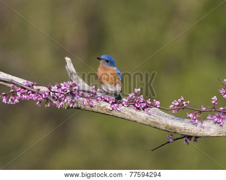 Male Bluebird Perched on Pink Flower Buds