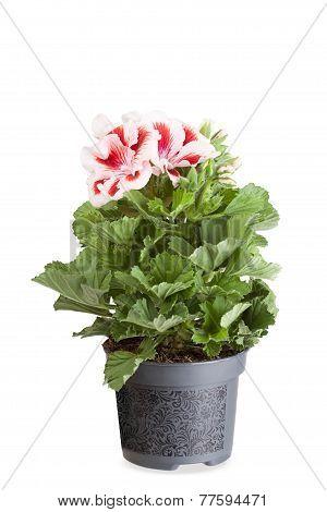 Blossoming geranium ( pelargonium) in a flowerpot