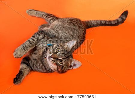 Tabby Kitten With Yellow Eyes In Blue Collar Playing On Orange
